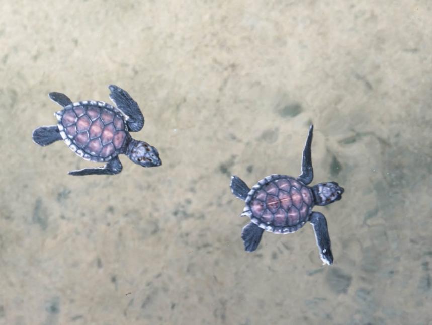 Черепахи Шри ланка