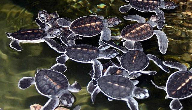 черепахи бентота